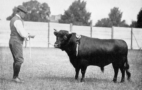 Herkunft und Geschichte der Dexter Rinder