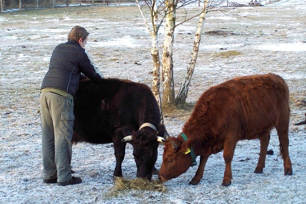 Fütterung Dexter Rinder im Winter